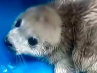 Спасенный в бухте Тавайза белек - трехдневная самка, потерявшая свою маму