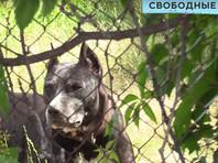В дачном поселке в Саратовской области бойцовская собака депутата гордумы покусала женщину с ребенком