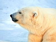 В России впервые проведут полный учет численности белых медведей, сообщает пресс-служба Минприроды РФ