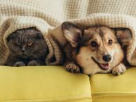 Кошки могут заражаться новым коронавирусом SARS-CoV-2, в то время как собаки, судя по всему, не относятся к уязвимым животным